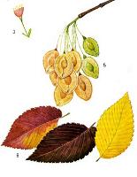 Как выглядят листья вяза